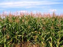Campo de maíz 2 fotografía de archivo