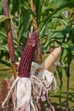 Campo de maíz. Fotos de archivo libres de regalías