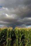 Campo de maíz. Imágenes de archivo libres de regalías