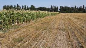 Campo de maíz almacen de metraje de vídeo