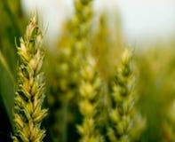 Campo de maíz Fotos de archivo