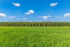 Campo de maíz Fotos de archivo libres de regalías