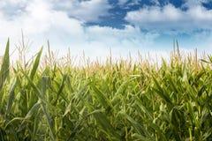 Campo de maíz Foto de archivo libre de regalías