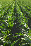 Campo de maíz imagen de archivo
