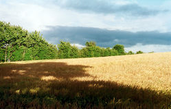 Campo de maíz abstracto fotografía de archivo