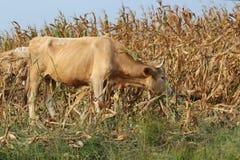 Campo de maíz al lado del ganado que pasta Foto de archivo libre de regalías