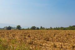 Campo de maíz ancho de la visión afectado por sequía Fotos de archivo libres de regalías