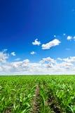 Campo de maíz bajo el cielo azul Fotos de archivo libres de regalías