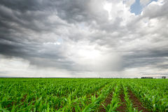 Campo de maíz bajo el cielo oscuro Imágenes de archivo libres de regalías
