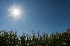 Campo de maíz bajo el sol Imágenes de archivo libres de regalías