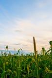 Campo de maíz bajo puesta del sol imágenes de archivo libres de regalías