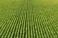 Campo de maíz/campo del maíz dulce Foto de archivo libre de regalías