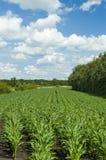 Campo de maíz colorido del cloudscape Fotografía de archivo