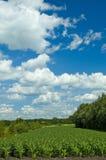 Campo de maíz colorido del cloudscape Foto de archivo libre de regalías