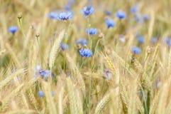 Campo de maíz con acianos Fotografía de archivo libre de regalías