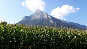 Campo de maíz con el fondo de la montaña de Gonzen imagenes de archivo
