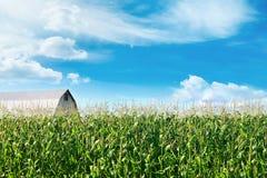 Campo de maíz con el granero y cielos azules en fondo fotos de archivo libres de regalías