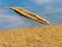 Campo de maíz con el punto de la cebada Fotos de archivo
