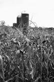 Campo de maíz con el silo Foto de archivo libre de regalías