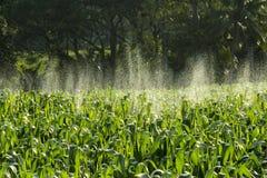 Campo de maíz con la rociadura, agua Imagen de archivo