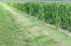 Campo de maíz con la zanja de irrigación fotografía de archivo libre de regalías
