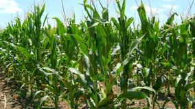 Campo de maíz con las mazorcas inmaduras en el tallo (4k) metrajes