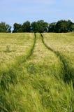 Campo de maíz con las pistas del alimentador Fotografía de archivo libre de regalías