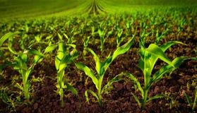 Campo de maíz con las plántulas y el suelo fértil oscuro fotografía de archivo libre de regalías