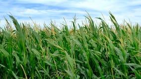 Campo de maíz con las plantas de maíz que se mueven en el viento almacen de video