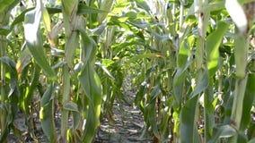 Campo de maíz con los rayos del sol metrajes