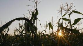 Campo de maíz con los rayos de sol almacen de metraje de vídeo