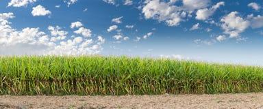 Campo de maíz con panorama del cielo   Fotografía de archivo