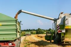 Campo de maíz con trigo en la cosecha Imagen de archivo libre de regalías