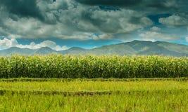 Campo de maíz contra el cielo nublado azul imágenes de archivo libres de regalías