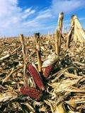 Campo de maíz cosechado imagen de archivo