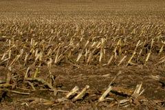 Campo de maíz cosechado Imagen de archivo libre de regalías