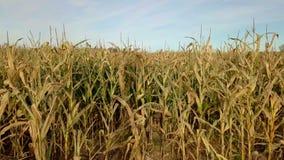 Campo de maíz dañado almacen de metraje de vídeo
