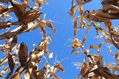 Campo de maíz de debajo Imagenes de archivo