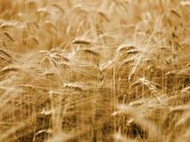Campo de maíz de la cebada Imagenes de archivo