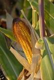 Campo de maíz de la cosecha Imagenes de archivo