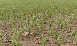 Campo de maíz de la primavera Imagen de archivo