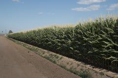 Campo de maíz de Monsanto OGM fotos de archivo libres de regalías