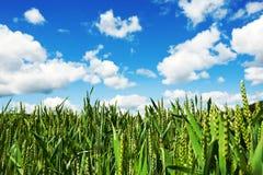 Campo de maíz de Natur Fotografía de archivo libre de regalías