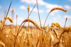 Campo de maíz de oro en Alemania Foto de archivo libre de regalías
