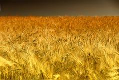Campo de maíz de oro en Palatinado, Alemania Fotografía de archivo