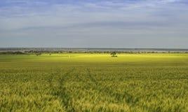 Campo de maíz debajo del cielo nublado con color del oro foto de archivo
