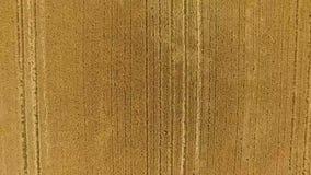 Campo de maíz 2 del abejón almacen de video