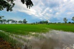 Campo de maíz del arroz con el cielo agradable Imágenes de archivo libres de regalías