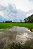 Campo de maíz del arroz con el cielo agradable Fotografía de archivo