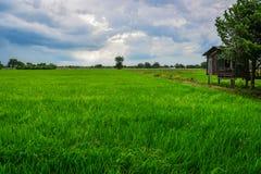 Campo de maíz del arroz con el cielo agradable Imagen de archivo libre de regalías